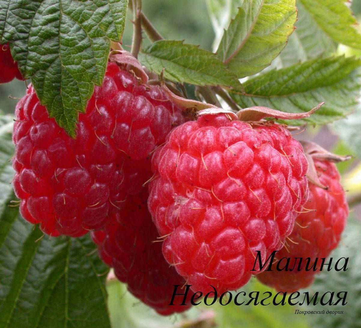 Малина: описание 22 лучших сортов, характеристики и отзывы садоводов | (фото & видео)