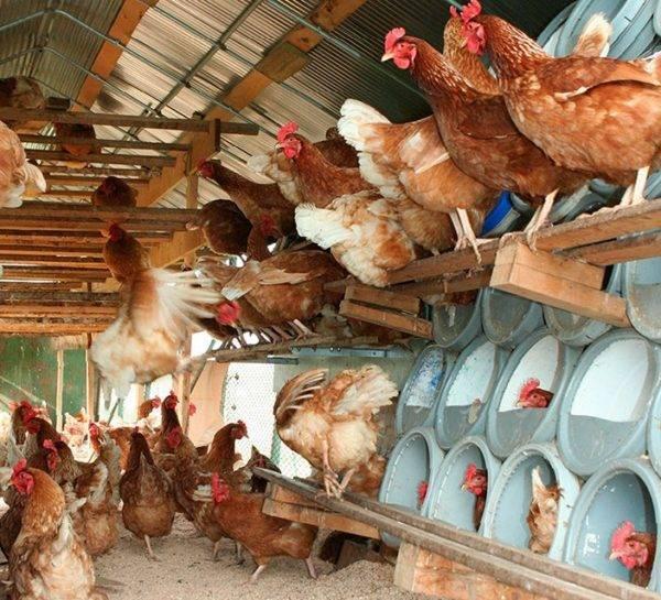 Как правильно выбрать кур несушек, сколько растет курица для мяса