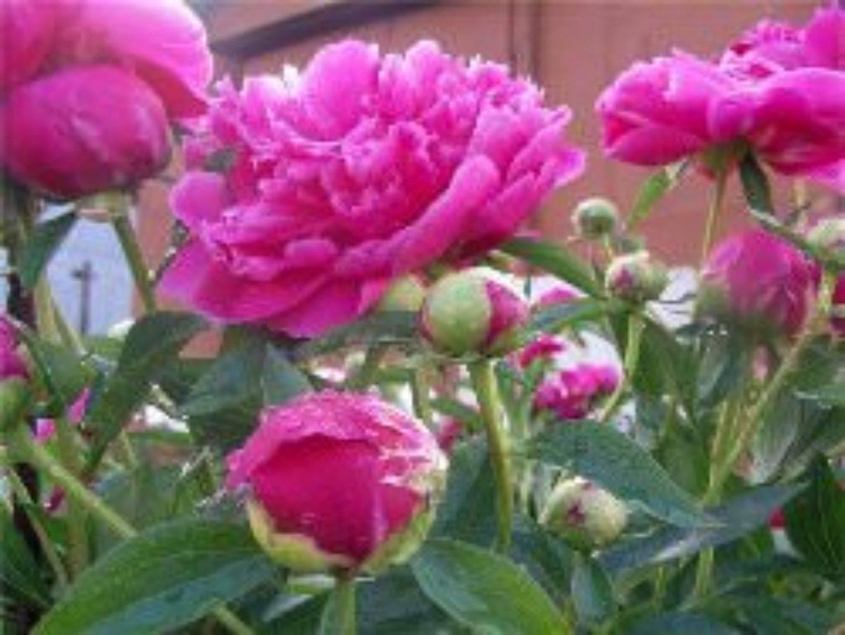 Как ухаживать за пионами осенью, чтобы они пышно зацвели весной?