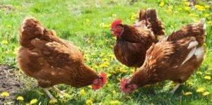 Как правильно кормить цыплят крапивой