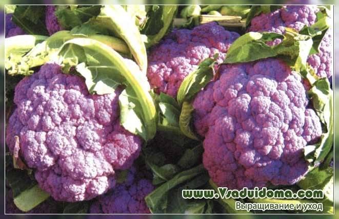 Цветная капуста: сорта и порядок выращивания культуры - лучшая инструкция!