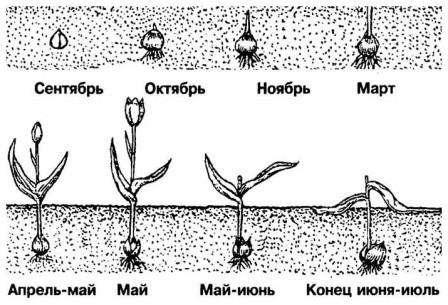 Когда и как выкапывать тюльпаны после цветения