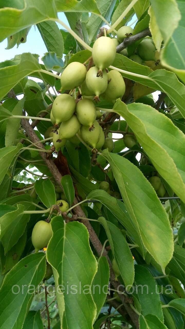 Актинидия аргута: выращивание и уход