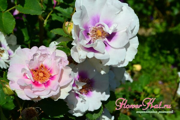 Названия и описания цветов розы с фото