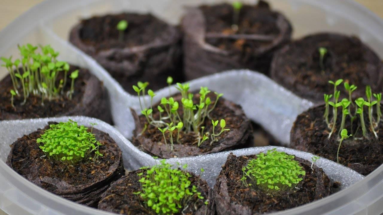 Как сажать петунию в гранулах? сколько дней всходят семена? как их сеять на рассаду? каковы особенности посадки гранул? какой срок годности у семян на посев?
