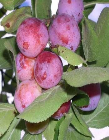 Сливово вишневый гибрид мейнор