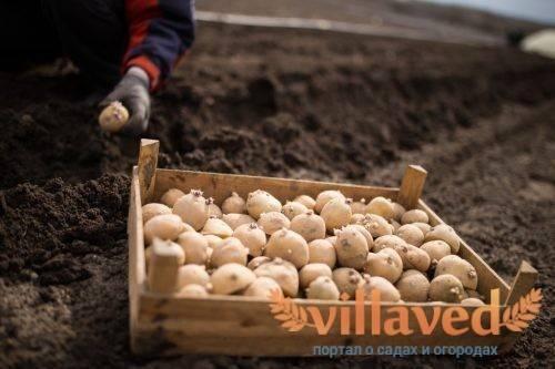 Обработка картофеля перед посадкой от колорадского жука