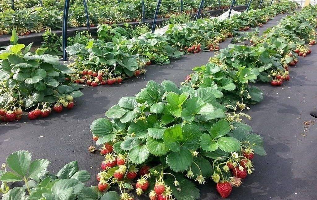 Чем удобрять клубнику весной, летом и осенью