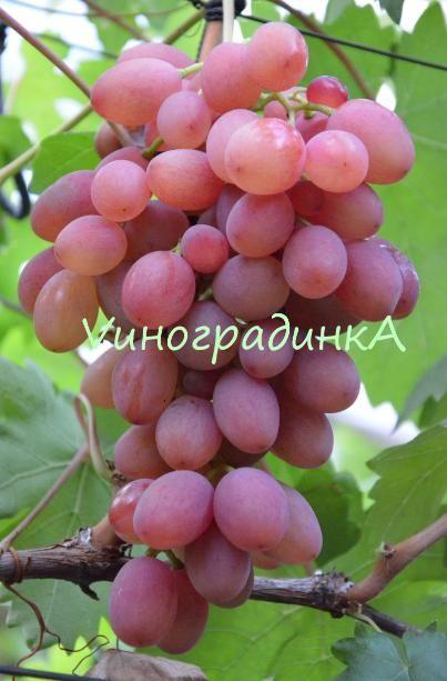 Виноград румба: описание, фото и отзывы