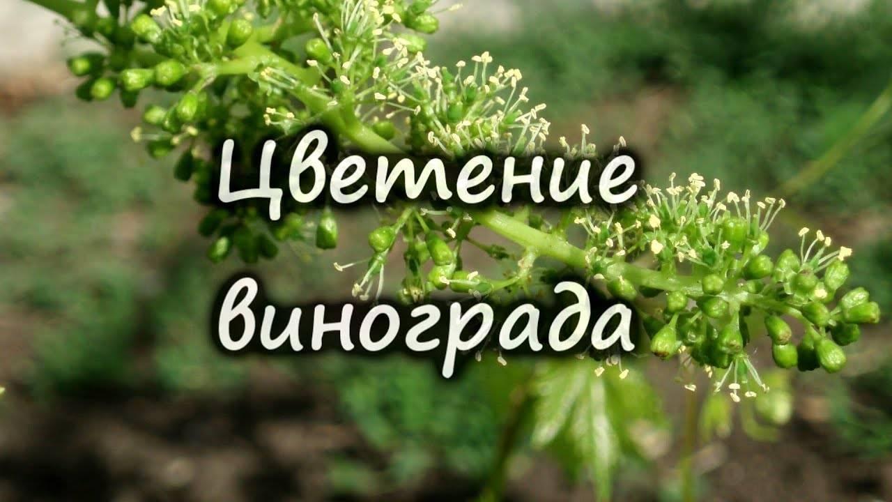 Дополнительное опыление винограда, зеленые операции - страница 3