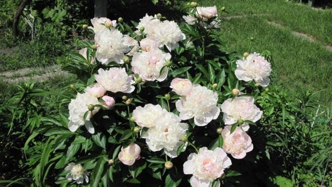 Как и когда пересаживать пионы после цветения - инструкция правильного ухода за пионами! | красивый дом и сад