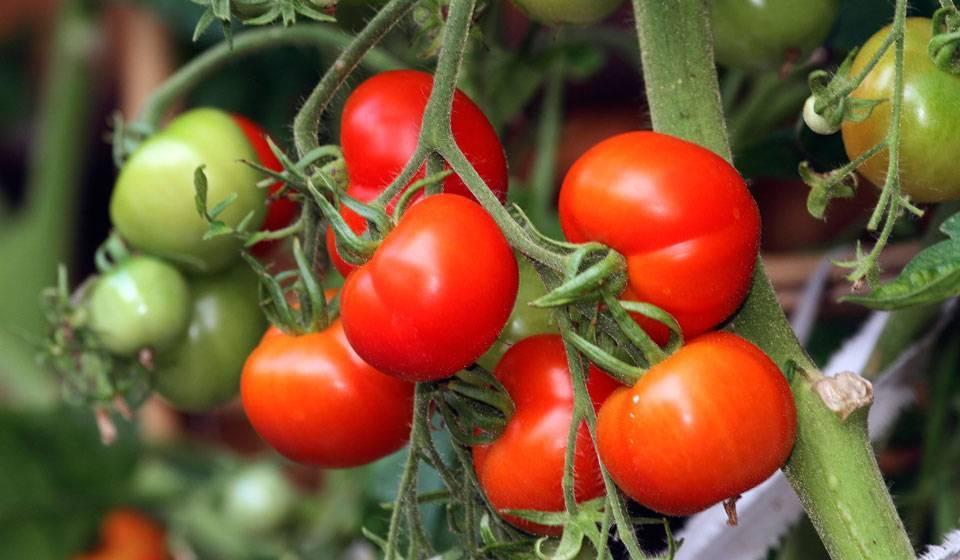 Чем подкормить помидоры? лучшие народные и современные средства для подкормки томатов во время цветения (155 фото и видео)