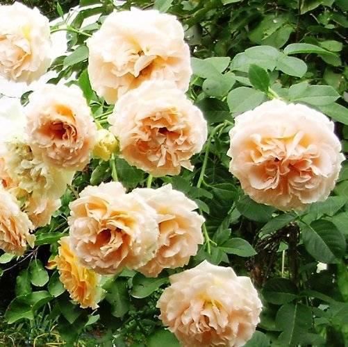 Плетистая роза полька: выращивание растения и его применение в декоре сада
