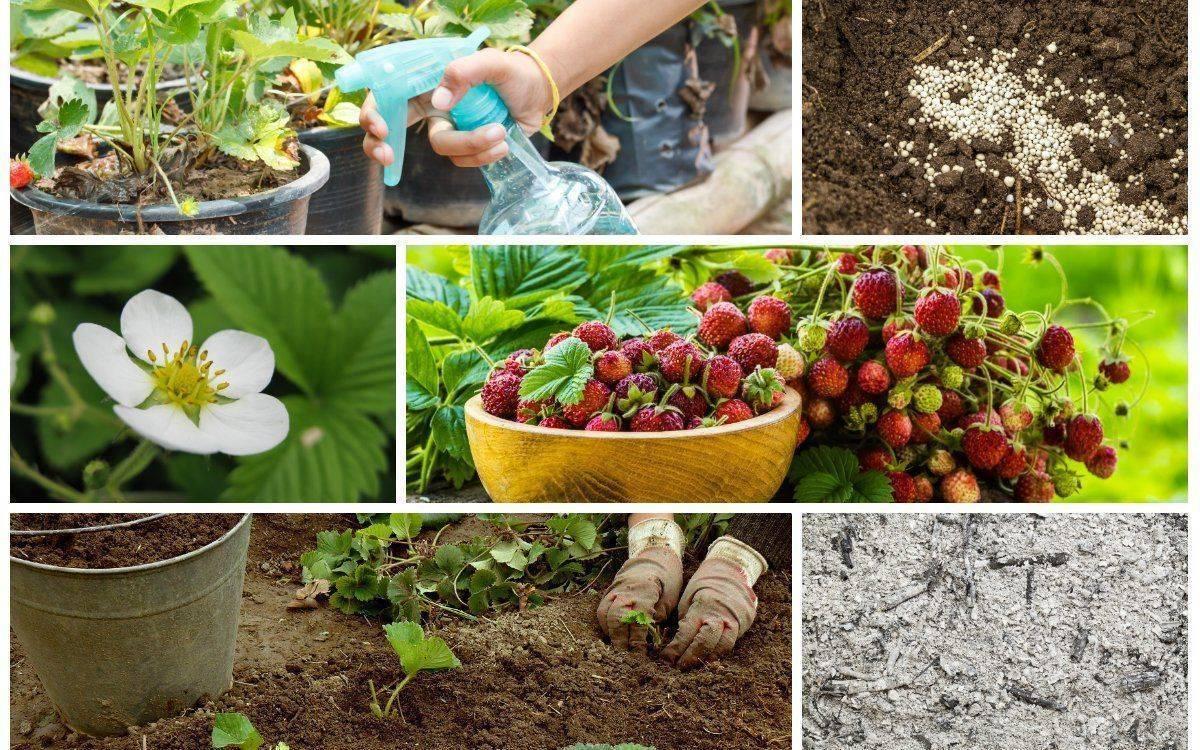 Чем подкормить и как ухаживать за клубникой во время цветения: секреты обильного урожая