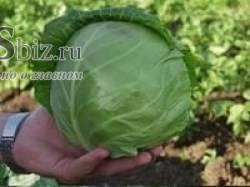 Голландская капуста – самые крупные и урожайные сорта и гибриды