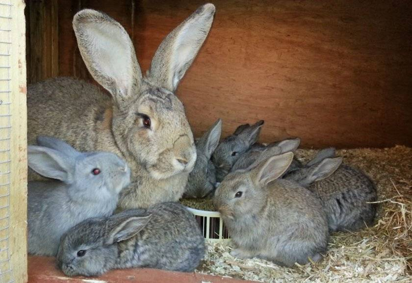 Чем кормить крольчиху после окрола чтобы было больше молока?