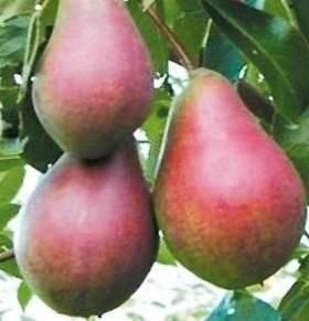 Сорт груши лесная красавица — ботаническое описание и характеристика сорта