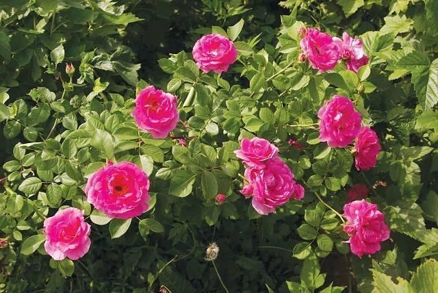 Роза морден санрайз (morden sunrise) — характеристики сорта