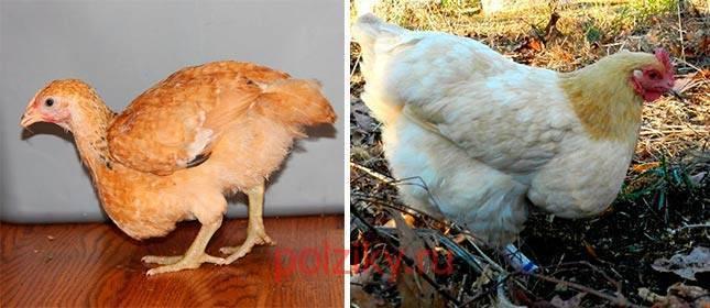 Закупорка зоба у кур: что это такое, причины возникновение, симптомы и лечение