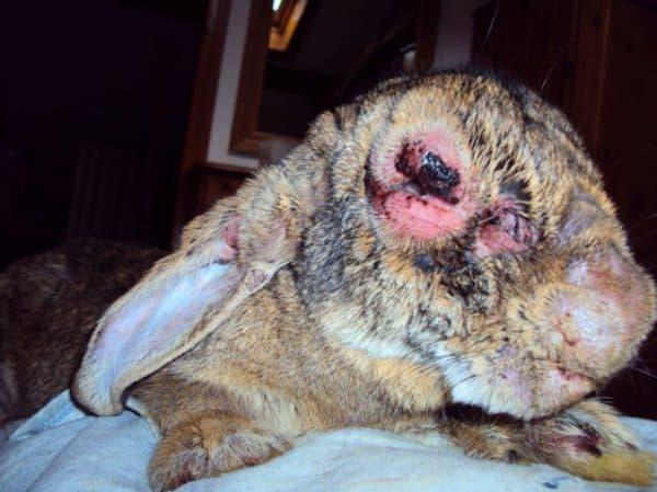 Миксоматоз у кроликов: симптомы, лечение и профилактика заболевания