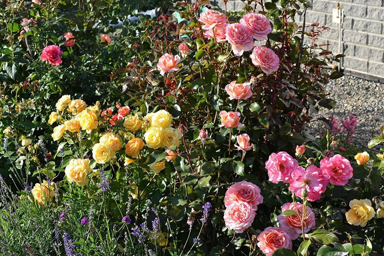 Правила пересадки роз осенью на другое место