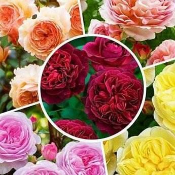 Роза даника микс