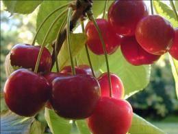 О вишне Кармин Джуэл: описание и характеристики сорта, уход и выращивание