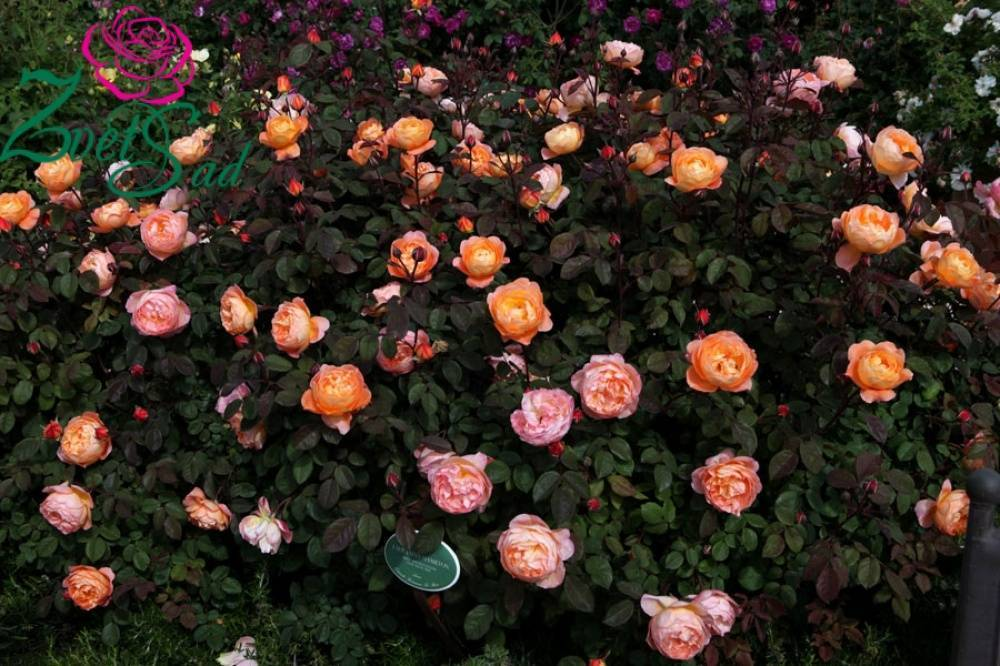 Розы дэвида остина 2005 года селекции