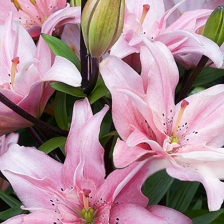 Азиатская лилия: сорта, посадка и уход