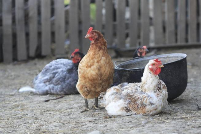 Ужас домашних курей – птичий грипп