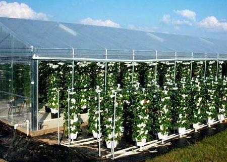 Все секреты выращивания клубники
