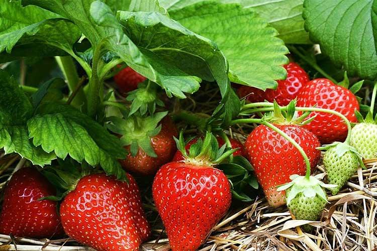 Чем подкормить клубнику во время цветения и плодоношения