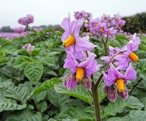 Срок действия престижа для картофеля. престиж для обработки картофеля, вредит ли здоровью? способы и технология обработки картофеля