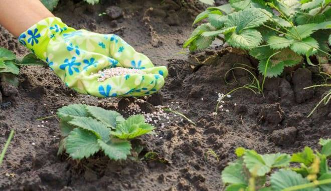 Как и чем правильно подкормить клубнику весной и перед цветением