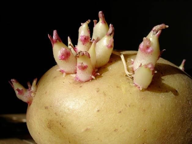 Можно ли есть проросшую картошку и что с ней еще сделать