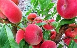 Агротехника выращивания персиковых деревьев сорта инжирный