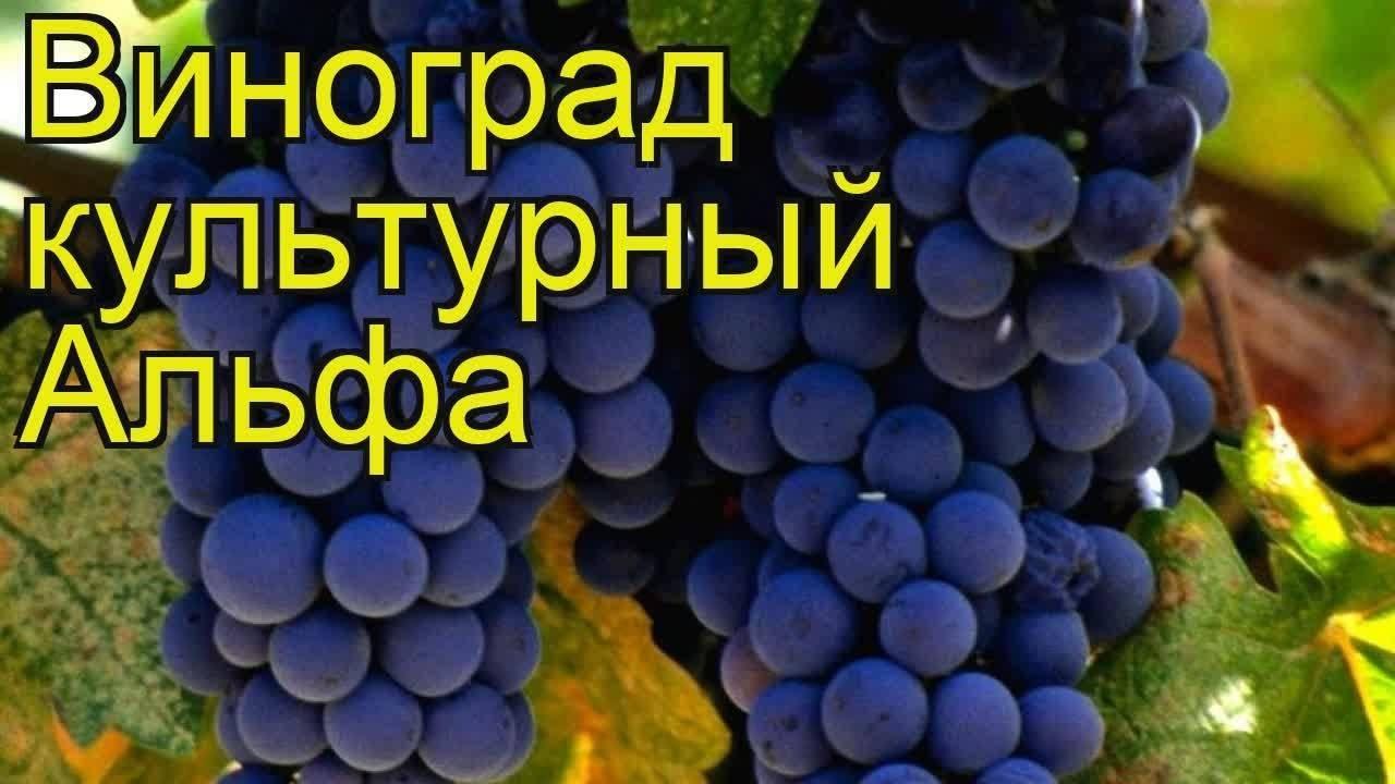 Виноград альфа — технический сорт