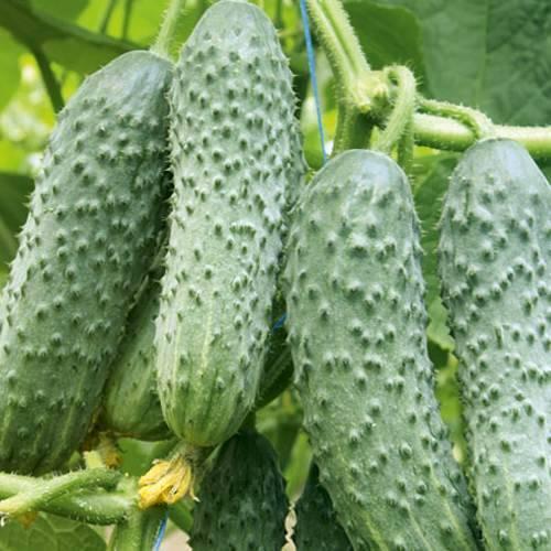 Гибрид огурцов «мамлюк f1»: фото, видео, описание, посадка, характеристика, урожайность, отзывы