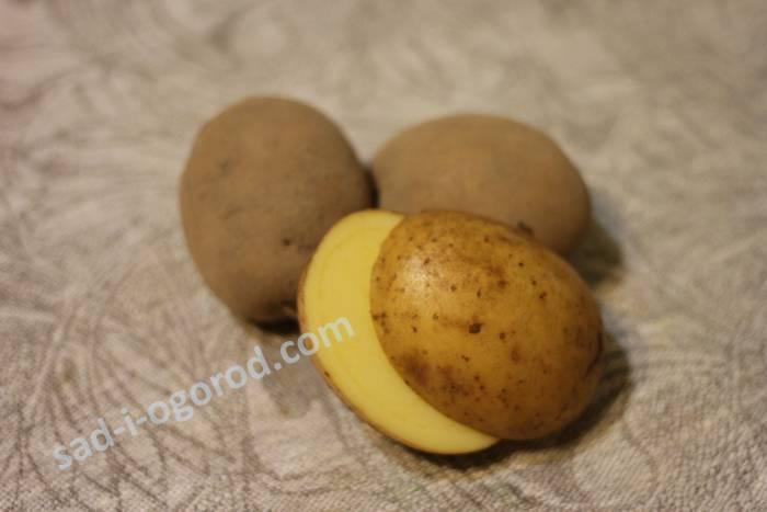 Размер и разрез картофеля скарб — плюсы и минусы сорта, выращивание