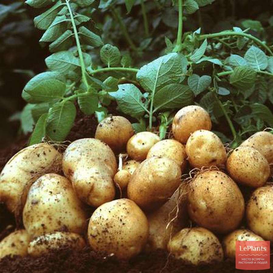 """Бесподобный картофель """"ажур"""" с подробным описанием сорта, наглядными фото и характеристикой"""