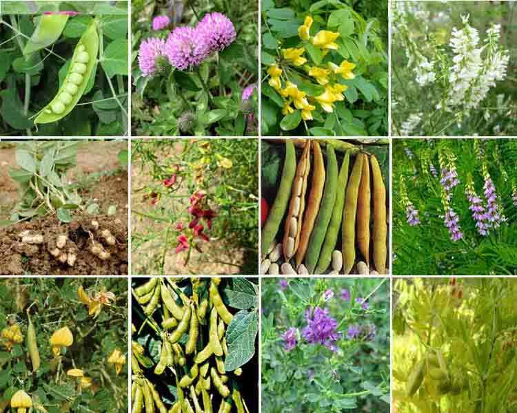 Боб садовый — википедия переиздание // wiki 2