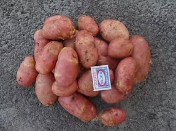 Картофель ред стар описание сорта фото отзывы