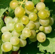 Ранний виноград мускат розовый