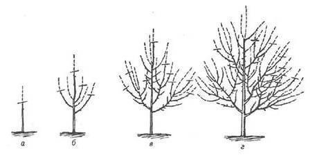 Черешня одринка: описание и характеристики сорта, посадка и уход с фото