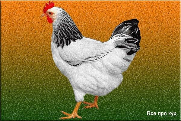 Суссекс: порода кур, их разведение