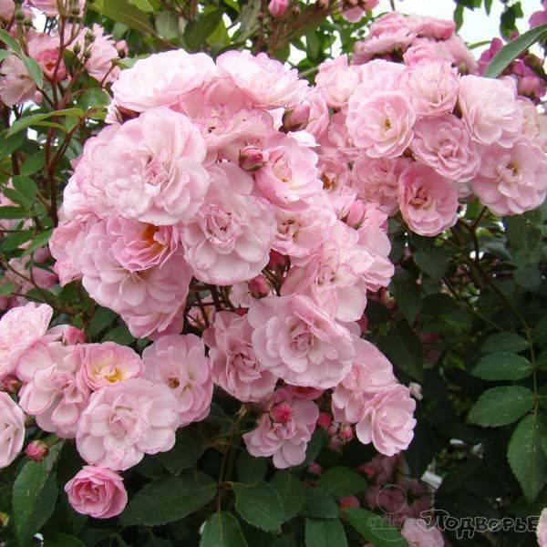 Роза ленса. балерина, хэвенли пинк, буке парфэ, раш.