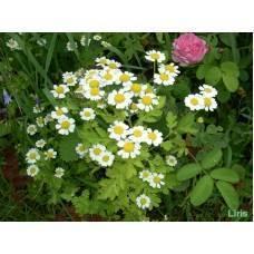 Девичья ромашка - неприхотливый цветущий многолетник, который выращивали в монастырских садах