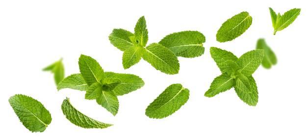 Листья мяты: полезные свойства, противопоказания, польза и вред