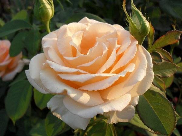 Чайная роза комнатная уход в домашних условиях