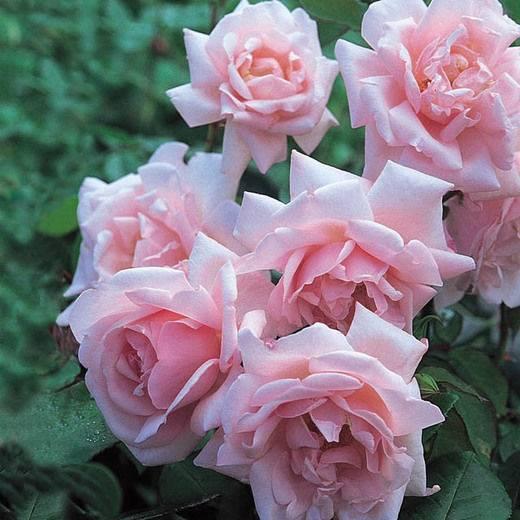 Неприхотливая и ароматная: особенности сорта роз «нью доун»
